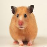 宠物鼠品种