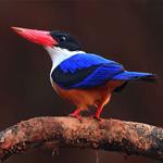 宠物鸟品种