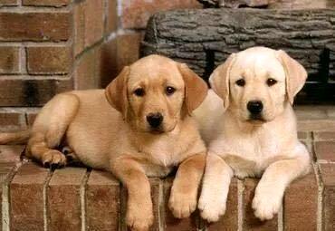 非纯种金毛怎么训练?拉布拉多犬训练法!