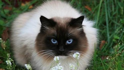 如何训练猫咪摆唯美资势?猫猫方法训炼!
