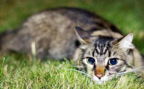 浅谈猫咪的昆虫过敏,猫咪皮肤病!