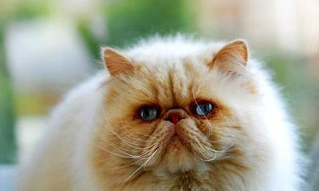 引起猫咪眼睛变红的原因有哪些?千万别耽误!