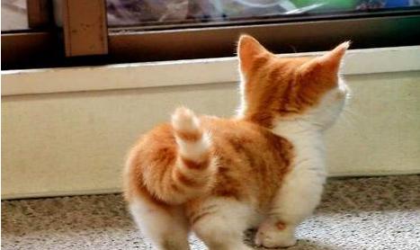 购买一只曼基康猫要多少钱?曼基康猫价格!