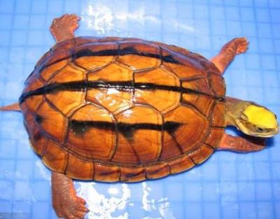 金钱龟/三线闭壳龟