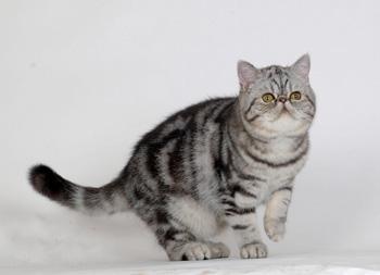 异国短毛猫|加菲猫