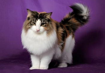 挪威森林猫