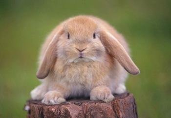 英国迷你垂耳兔