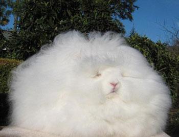 英国安哥拉兔