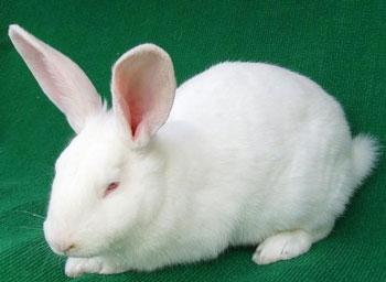 日本大耳白兔