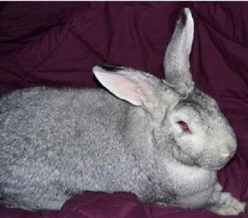 巨型金吉拉兔