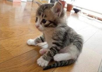 褴褛猫|布履阑珊猫
