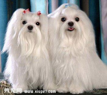 马尔济斯犬|玛尔济斯犬
