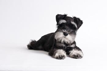 雪纳瑞/小型雪纳瑞犬