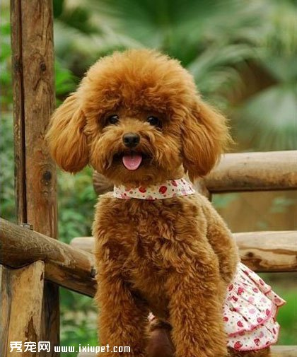 泰迪犬选购泰迪犬价格