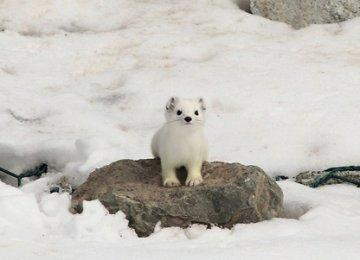【宠物貂图片】雪白的天山雪貂