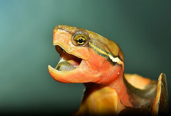 【平胸龟图片】石头上的平胸龟|鹰嘴龟