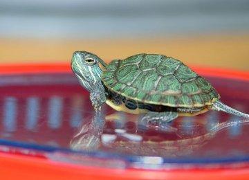 【巴西龟图片】近镜头下的小巴西龟