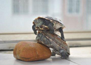【乌龟图片】讨厌,干嘛压在我身上!