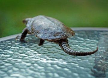 【鹰嘴龟图片】近距离下的鹰嘴龟|平胸龟