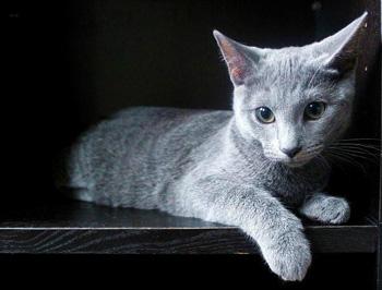 俄罗斯蓝猫|阿契安吉蓝猫