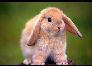 英国垂耳兔