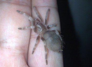 【蜘蛛图片】捕鸟蛛之塔兰托毒蛛