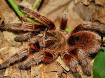 火玫瑰蜘蛛