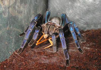 金属蓝蜘蛛