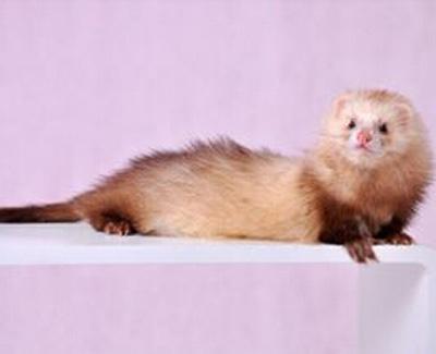 棕色长毛安格鲁貂