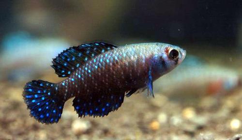 黑珍珠�鱼