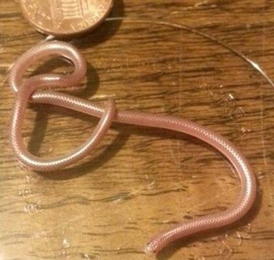 德州细盲蛇