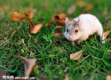 【仓鼠图片】草地上欢快吃坚果的小仓鼠
