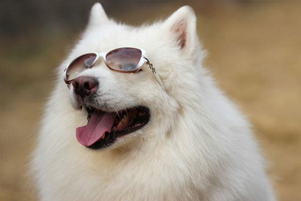 【萨摩耶犬图片】一只安静的美汪汪