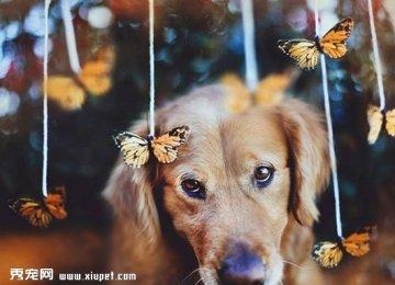 【金毛寻回犬图片】宠物狗狗的幸福