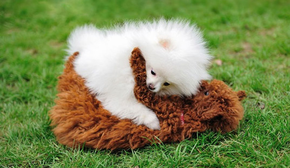 【博美犬图片】白色博美与泰迪的邂