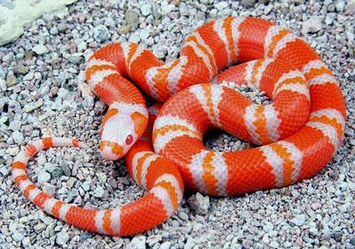 奶蛇|纳尔逊奶蛇