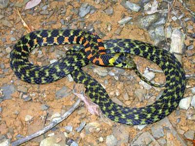 虎斑颈槽蛇|野鸡脖子