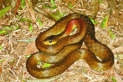 红脖颈槽蛇|野鸡项|红脖游蛇