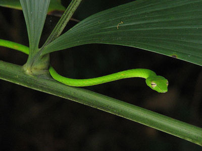 绿瘦蛇|大蓝鞭蛇|鹤蛇
