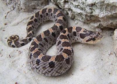 猪鼻蛇|吹气蛇
