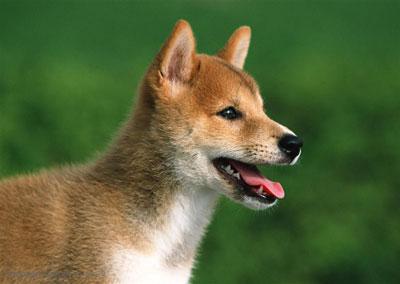 中华田园犬|土狗
