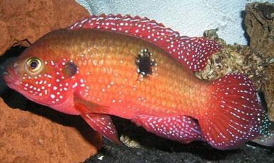 红宝石鱼|双斑伴丽鱼
