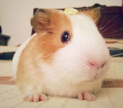 巧克力荷兰天竺鼠|豚鼠