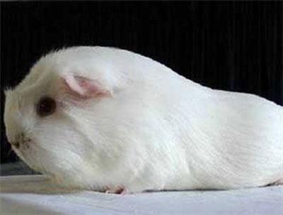 缎毛白色黑眼天竺鼠