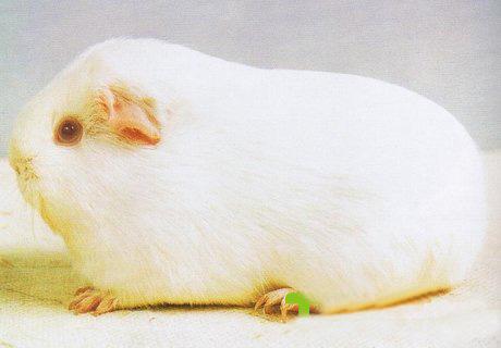 白色粉眼天竺鼠