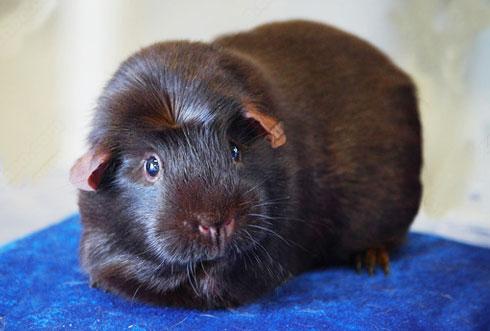 天然巧克力天竺鼠