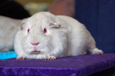 银色天竺鼠