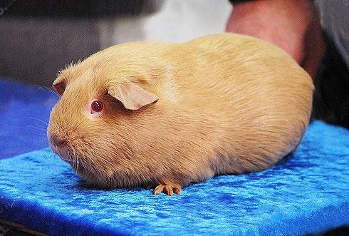 米色黄金天竺鼠