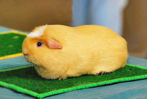奶油美洲白冠天竺鼠