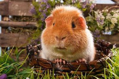 泰迪熊天竺鼠